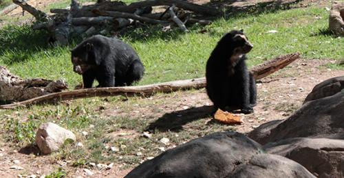 Andean Bears